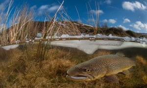 British waters wide angle category third placeElan valley trout in winter by Trevor Rees (UK)Location: Elan Valley, Powys, Wales'This is a half-and-half scene taken on a snowy January morning. I have used my fisheye lens ... The brown trout has been subsequently added to the scene in Photoshop so this is very much a composite image. The trout is actually shot at a completely different time and location. The inspiration for the image may be from images I have seen of migrating salmon struggling up a river to then be found lying exhausted - a poor substitute I know, but I like the effect.'