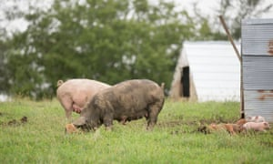 Pigs roaming outdoors at a Niman Ranch farm in the US