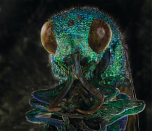 The cuckoo wasp is parasitic and lays its eggs in other wasps' nests