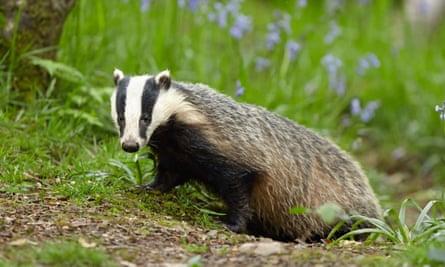 A badger roaming outside its den