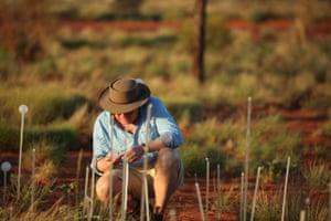 The 50,000 'stems' were planted close to Uluru in Australia.