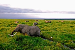 African elephants are under intense pressure from poaching and the fragmentation of habitat. Populations in Tanzania have declined by 60% between 2009 and 2014.