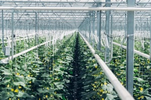 greenhouse growing aubergines and tomatoes