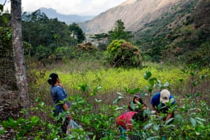 A family harvesting coca leaves in the town of Santa Rosa, Peru