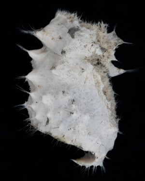 A hexactinellid sponge, a sample specimen collected from in Half Moon Bay, outside Livingston Island in the Antarctic