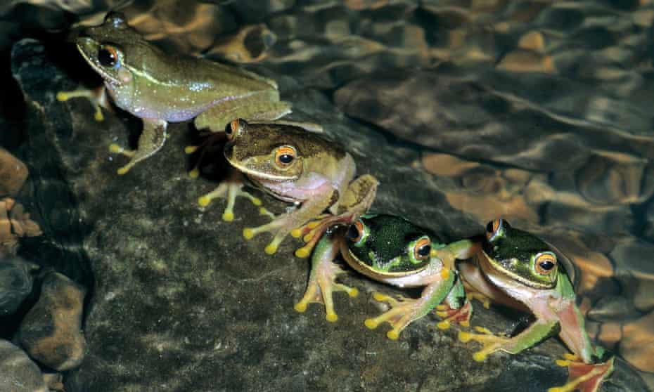 Smuggling of rare frogs is also a problem in Madagascar.