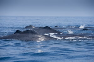 Sperm whales gather off Sri Lanka in great number - at least 100, perhaps many more. Each spring, sperm whales gather in waters over canyons up to 1,000 metres deep, to mate. It's a cetacean spring break – Andrew recorded an even bigger aggregation of 350 sperm whales in the same area, exactly two years previously. Underwater, we could see the animals' aroused genitals. As we watched, one pair of amorous whales swam belly to belly under our boat, loved-up leviathans apparently undisturbed by our presence.