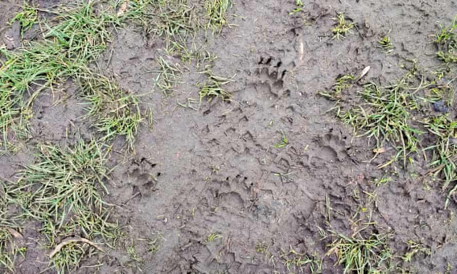Badger tracks ... the distinctive footprints of a purposeful and prudent traveller.