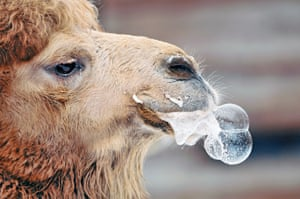 Camel foaming at the mouth