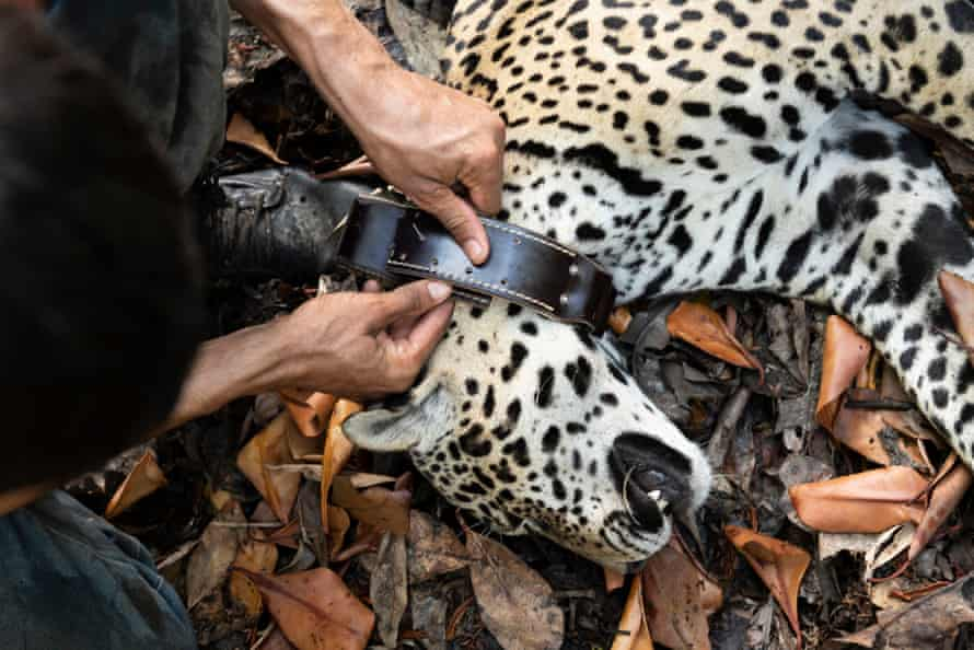 A jaguar being fitted with a GPS collar