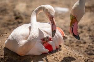 Marwell, England: Greater flamingos with a chick. Staff at the Hampshire zoo have been counting more than 3,500 animals for an annual stocktake