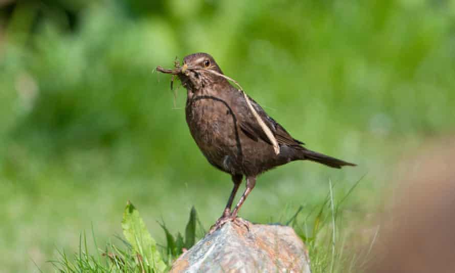 A female blackbird gathers nesting material.