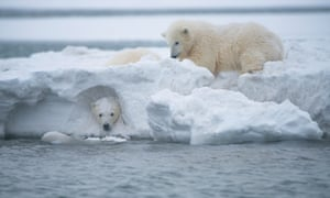 Polar bear clubs play in a snow drift in the Arctic national wildlife refuge.