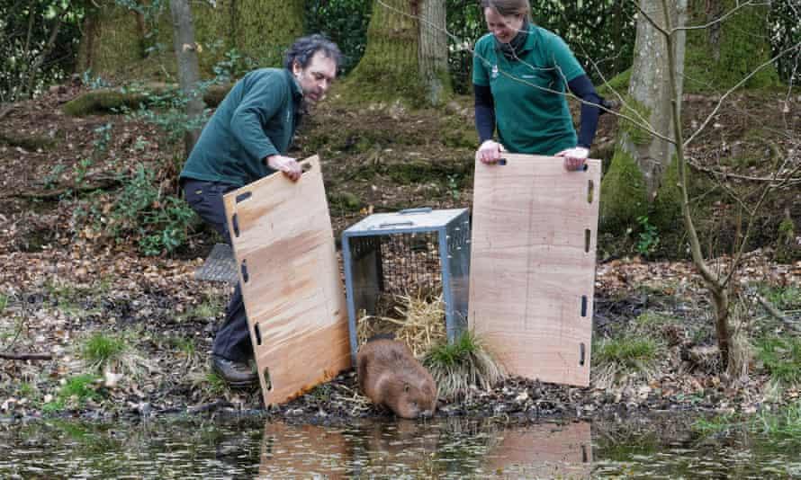 Rangers release beaver