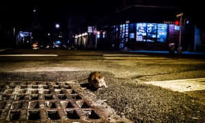There are no reliable figures on the number of rats in New York – estimates range from 250,000 to tens of millions. But experts say rat populations are growing.