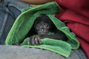 A baby Siamang at Bali Wildlife Rescue Center in Tabanan, Bali, Indonesia.
