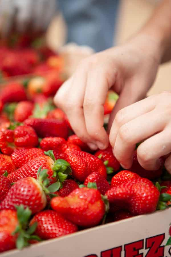 Hands picking over a box of strawberries