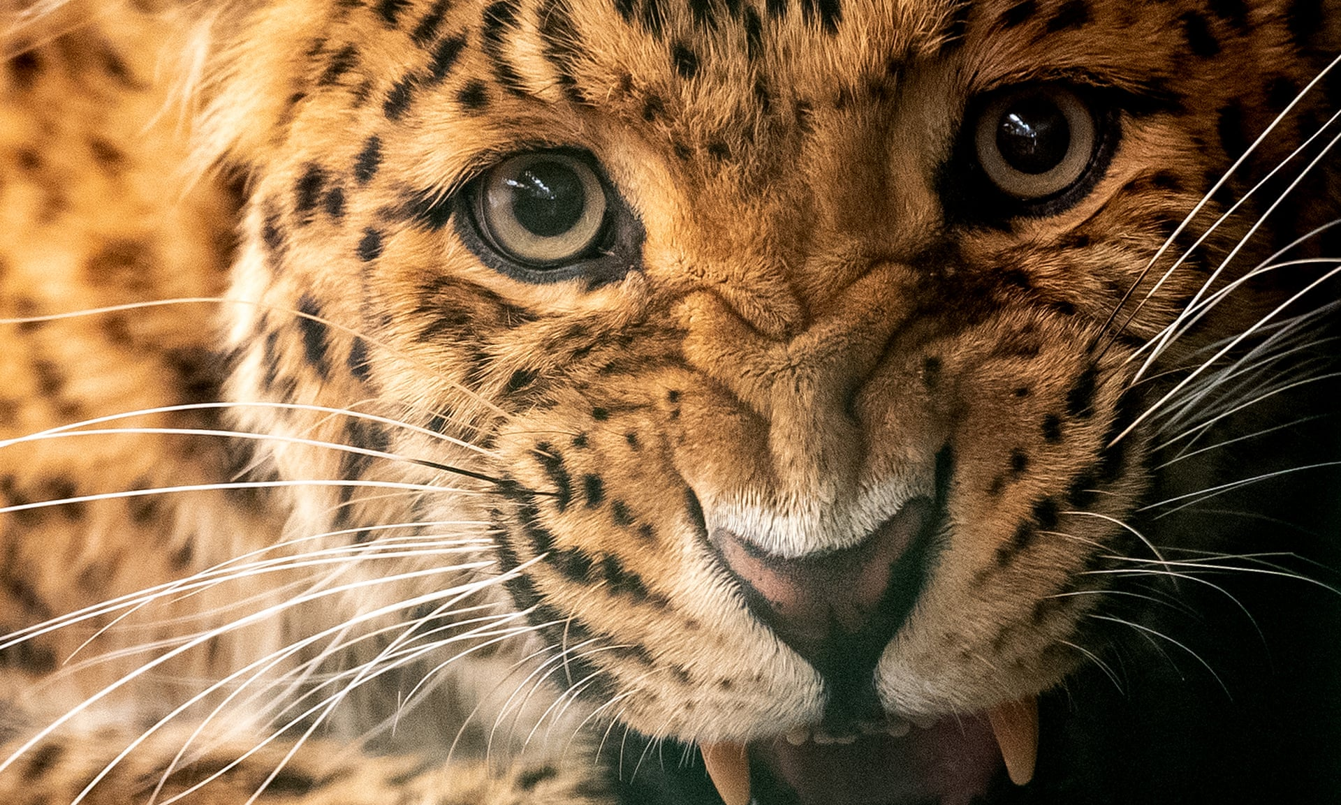 Wildlife traffickers target lion, jaguar and leopard body parts as tiger substitutes