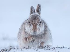 Rosamund Macfarlane, Snow hare.   Finalist, Mammals