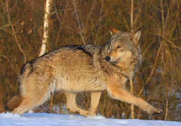 Wolves in Chernobyl exclusion zone