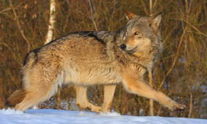 Wildlife in Chernobyl exclusion zone : Wolf