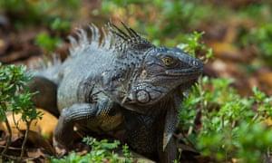 One of the gardens' resident iguanas.