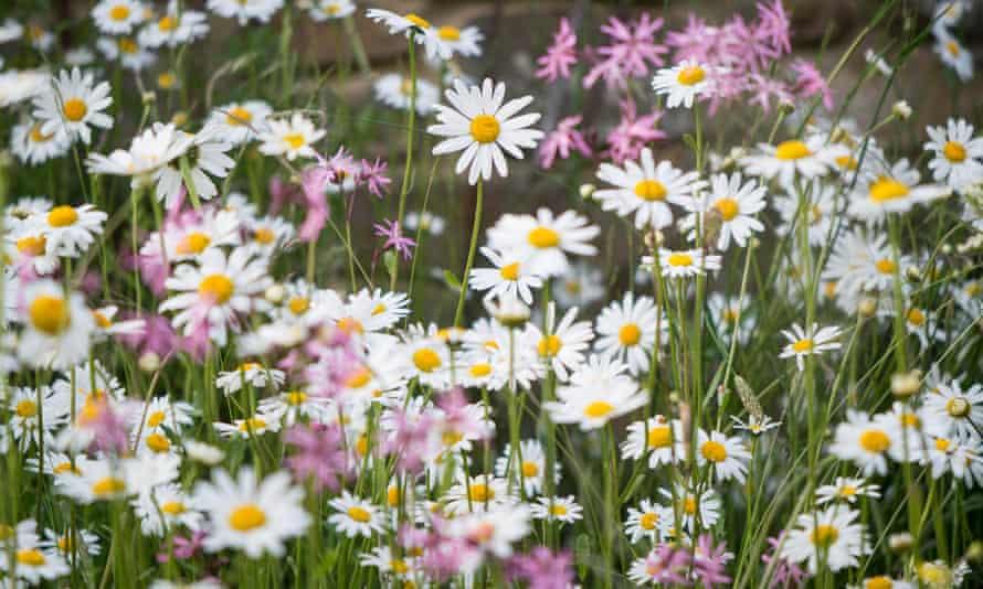 Oxeye daisies in Susie White's garden