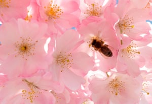 A bee collects nectar from the flowers of a blooming Japanese cherry blossom tree in Vienna