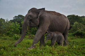 A baby Sumatran elephant plays with her mother at Elephant Flying Squad Camp, Tesso Nilo national park in Riau, Indonesia