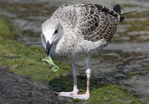 A seagull with an insect in its beak in the seaside resort of Simeiz, on Crimea's Black Sea coast, Ukraine