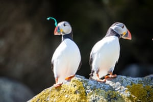 A puffin holds some plastic in its beak on the Shiant Isles in Scotland. The three main islands are called Garbh Eilean (rough island) and Eilean an Taighe (house island) and Eilean Mhuire (Mary Island). They are uninhabited apart from the island of Eilean an Taigh which houses a small bothy open to researchers and visitors.