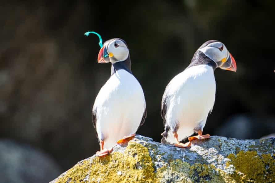 Puffins on the Shiant Isles in the Outer Hebrides, Scotland.