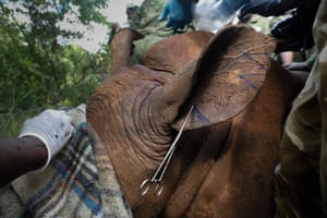 Four-year-old female southern white rhino, Abby, had her ear cut by Kenya Wildlife Services rangers as an identification exercise at Meru national park, Kenya.
