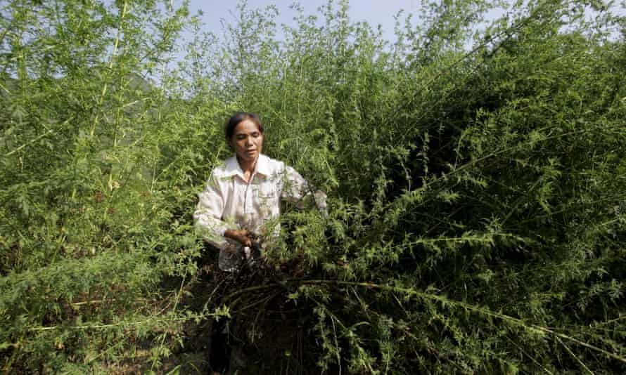 A farmer harvests sweet wormwood trees in Youyang, China. Chinese pharmacist Tu Youyou discovered artemisinin, the malaria treatment derived from the plant, in 1972.