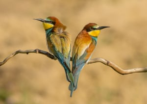 Category: Nature. Title: Pair of European Bee Eaters Sitting on a Branch. This pair of European Bee-eaters were sitting on a tree branch in a National Park in Hungary. It was springtime, the nesting season was in full flow but these two birds faced in opposite directions looking as if they'd had an argument