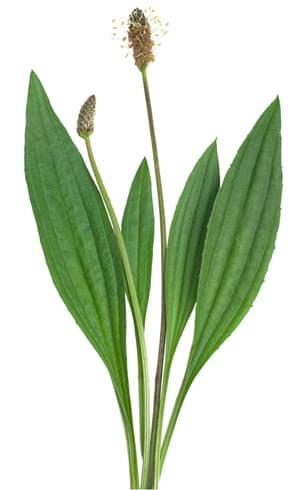 ribwort (Plantago lanceolata) on a white background