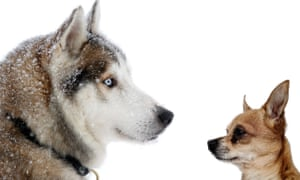 Huskey and Chihuahua composite picture