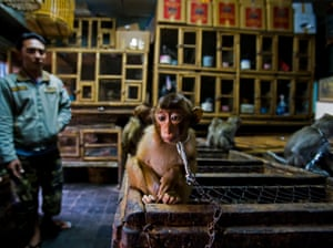 Winner - Wildlife Photojournalist Story Award: Backroom business by Paul Hilton, UK/Australia.  A young pig-tailed macaque is put on show chained to a wooden cage in Bali's bird market, Indonesia. They are energetic, social primates living in large troops in forests throughout Southeast Asia. As the forests are destroyed, they increasingly raid agricultural crops and are shot as pests. The babies are then sold into a life of solitary confinement as a pet, to a zoo or for biomedical research.