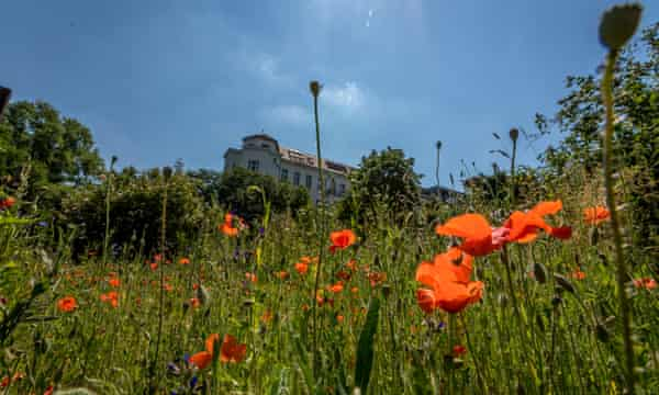 Poppies and tall grass with trees and top of an old apartment block in the background