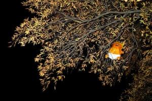 Washington DC, USA blimp depicting Donald Trump is seen stuck on a tree at Black Lives Matter Plaza.