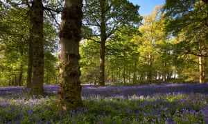 Bluebell woodland in the grounds of the National Trust owned Blickling Hall Norfolk, UK.