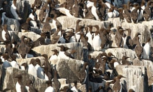 Guillemots nesting at the Isle of May in the Firth of Forth.