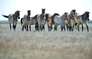Przewalski wild horses in the Hortobagy national park, in the puszta or Hungarian steppe.