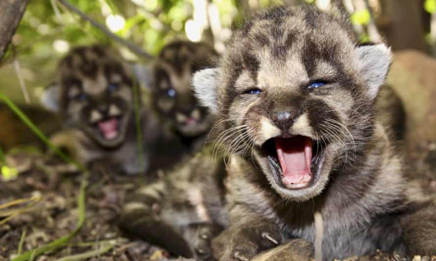 Mountain lion kittens, seen in May in the Santa Monica Mountains.