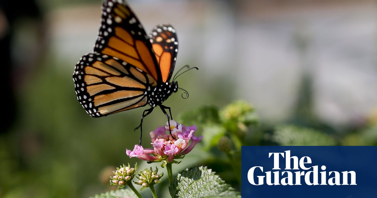 Butterfly numbers plummeting in US west as climate crisis takes toll