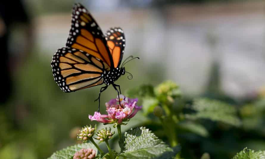 A monarch butterfly balances on a flower in Vista, California. The number of western monarch butterflies wintering along the California coast has plummeted to a record low.