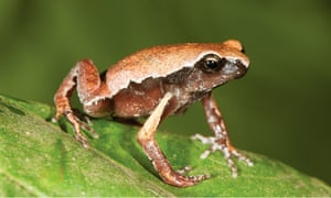 Mysticellus franki, a new species of narrow-mouthed frog.