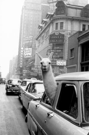 A llama in Times Square, New York, 1957
