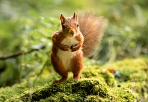 Red squirrel standing on hind legs looking towards camera