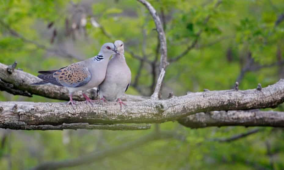 Turtle Dove pair